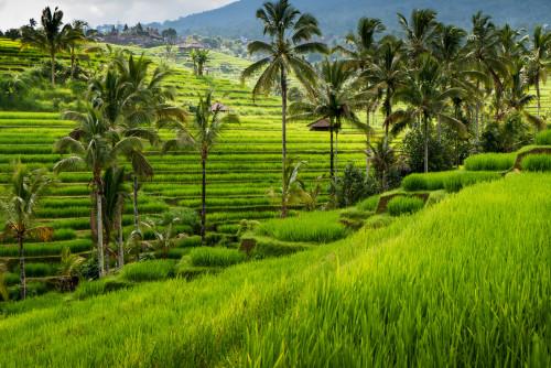 Рисовые террасы в Убуде